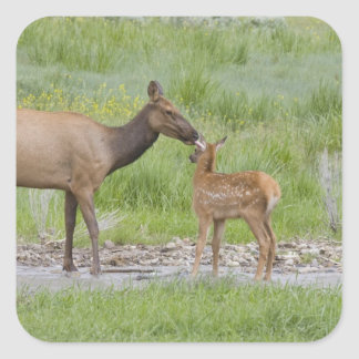 WY, Yellowstone National Park, Elk calf and Square Sticker