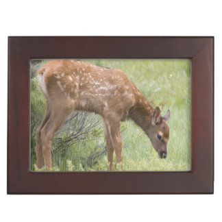 WY, Yellowstone National Park, Elk calf in Keepsake Box