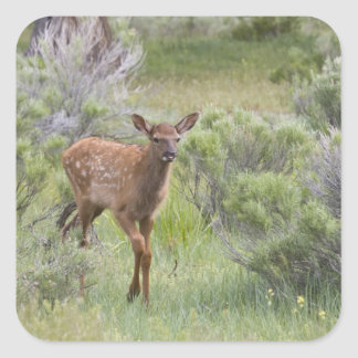 WY, Yellowstone National Park, Elk calf Square Sticker