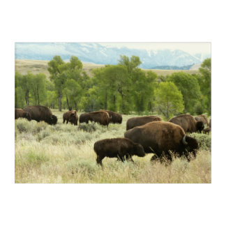 Wyoming Bison Nature Animal Photography Acrylic Print
