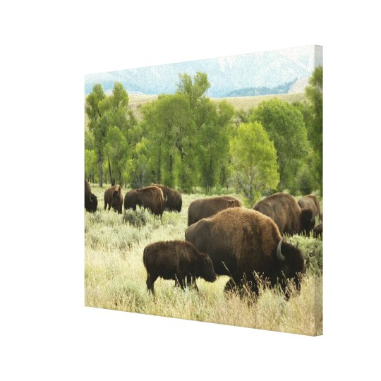 Wyoming Bison Nature Animal Photography Canvas Print