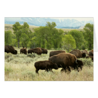Wyoming Bison Nature Animal Photography Card