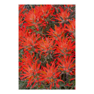 Wyoming, Lincoln County, Desert Paintbrush Poster