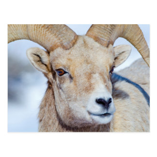 Wyoming, National Elk Refuge, Bighorn Sheep Ram Postcard