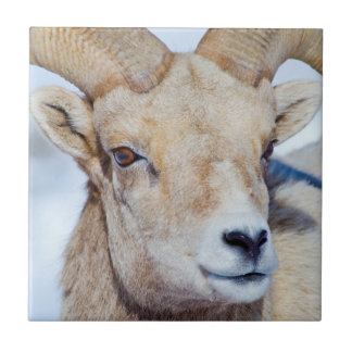 Wyoming, National Elk Refuge, Bighorn Sheep Ram Tile