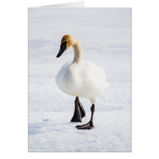 Wyoming, National Elk Refuge, Trumpeter Swan 1 Card