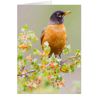 Wyoming, Sublette County, An American Robin Card