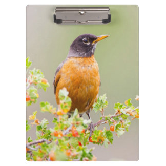 Wyoming, Sublette County, An American Robin Clipboards