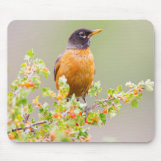 Wyoming, Sublette County, An American Robin Mouse Mat