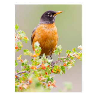 Wyoming, Sublette County, An American Robin Postcard