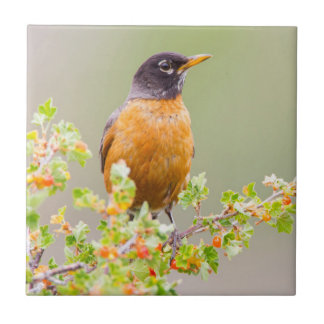 Wyoming, Sublette County, An American Robin Small Square Tile