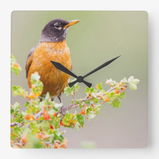 Wyoming, Sublette County, An American Robin Square Wall Clock