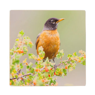 Wyoming, Sublette County, An American Robin Wood Coaster