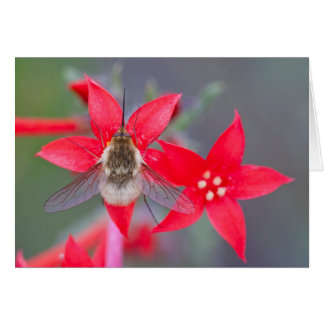 Wyoming, Sublette County, Bee Fly with proboscis Card