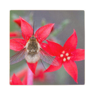 Wyoming, Sublette County, Bee Fly with proboscis Wood Coaster