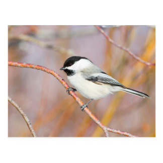 Wyoming, Sublette County, Black-capped Chickadee Postcard