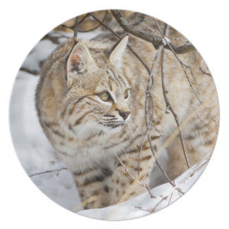 Wyoming, Sublette County, Bobcat in winter Plate