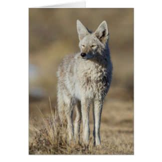 Wyoming, Sublette County, Coyote in morning Card