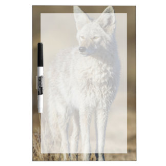 Wyoming, Sublette County, Coyote in morning Dry Erase Board