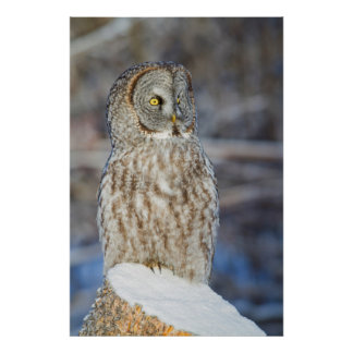 Wyoming, Sublette County, Great Gray Owl 1 Poster