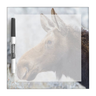 Wyoming, Sublette County, head shot of cow Moose Dry Erase Board