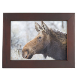 Wyoming, Sublette County, head shot of cow Moose Keepsake Box