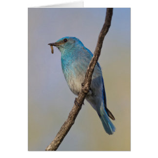 Wyoming, Sublette County, Male Mountain Bluebird Card
