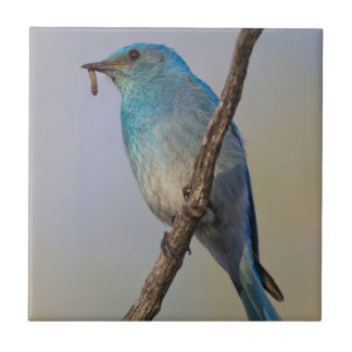 Wyoming, Sublette County, Male Mountain Bluebird Tile