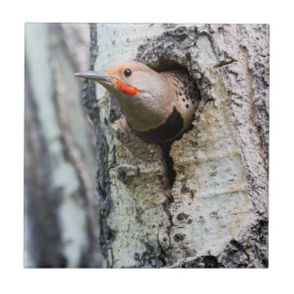 Wyoming, Sublette County, Male Northern Flicker Tile
