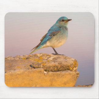 Wyoming, Sublette County, Mountain Bluebird male Mouse Pad