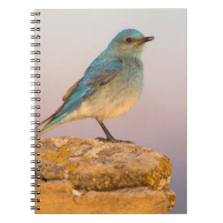 Wyoming, Sublette County, Mountain Bluebird male Notebook