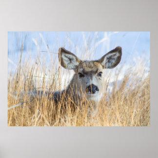 Wyoming, Sublette County, Mule Deer doe resting Poster