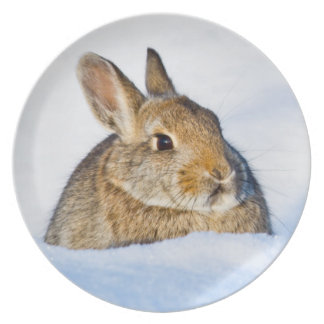Wyoming, Sublette County, Nuttall's Cottontail 1 Dinner Plates