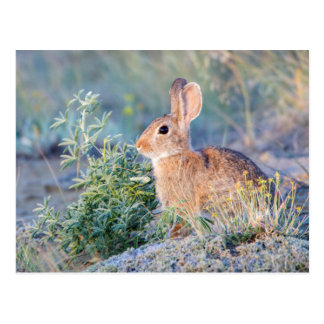 Wyoming, Sublette County, Nuttall's Cottontail 3 Postcard