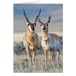 Wyoming, Sublette County, Pronghorn bucks Card