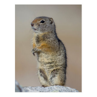 Wyoming, Uintah Ground Squirrel standing on hind Postcard