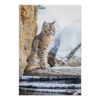 Wyoming, Yellowstone National Park, A bobcat Poster