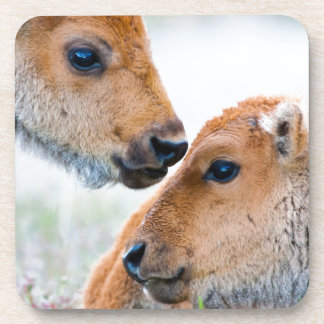 Wyoming, Yellowstone National Park, Bison calves Coaster