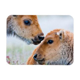 Wyoming, Yellowstone National Park, Bison calves Rectangular Photo Magnet