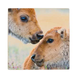 Wyoming, Yellowstone National Park, Bison calves Wood Coaster