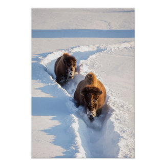 Wyoming, Yellowstone National Park, Bison Cow Poster