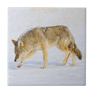 Wyoming, Yellowstone National Park, Coyote Tile