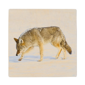 Wyoming, Yellowstone National Park, Coyote Wood Coaster
