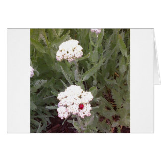 Yarrow with Ladybird Card