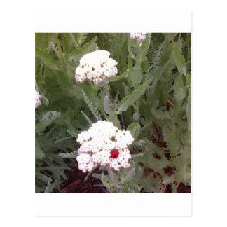 Yarrow with Ladybird Postcard