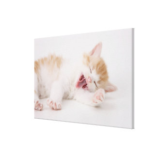 Yawning Kitten on White Background. Canvas Print