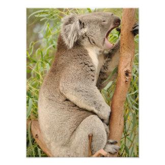 Yawning Koala Photographic Print