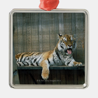 Yawning tiger in cage at zoo christmas ornament