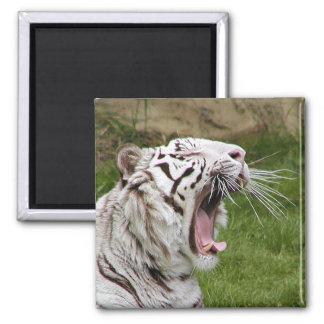 yawning tiger magnet