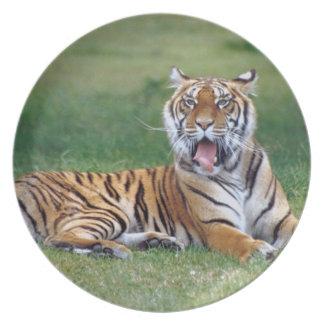 Yawning Tiger Plate